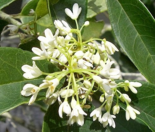 Fragrant Tea Olive ( osmanthus fragrans ) - Live Plant - 3 Gallon Pot by sanjoes
