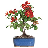 Brussel's Live Japanese Red Quince Outdoor Bonsai Tree - 3 Years Old; 10'' to 12'' Tall with Decorative Container