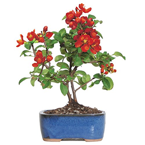 Red Trees Flowering - Brussel's Live Japanese Red Quince Outdoor Bonsai Tree - 3 Years Old; 10