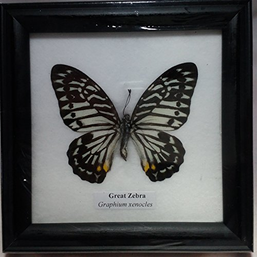 picture-frames-home-decor-rare-framed-real-beautiful-great-zebra-butterfly-display-insect-taxidermy-