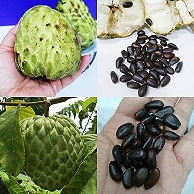 Shoopy Star 200 semillas, 1 bolsa de 1g, Chai Tai Long Green ...