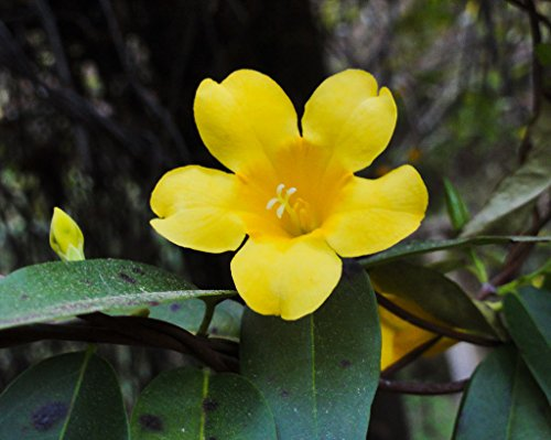 Fresh Gelsemium SEMPERVIRENS (Carolina Jasmine Vine Rare Fragrant Flower Seed) 5 ()