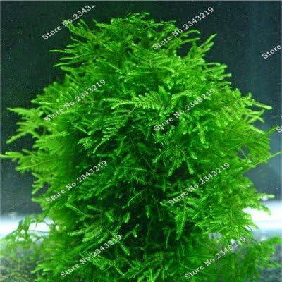 1Bag una 200pcs semilla rara acuario Planten musgo de Java hierba Semillas de plantas acuáticas Raros Aquario Fish Tank regalos Hogar y jardín Plantas 1: Amazon.es: Jardín