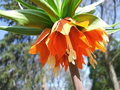1 Bulb of Red Crown Imperial Lily, Ready to Beautify Your (Crown Imperial Bulbs)