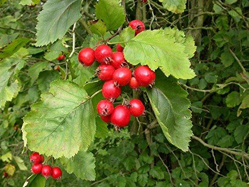 - Crataegus crus galli COCKSPUR HAWTHORN Tree Seeds!