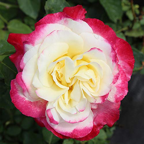 Own-Root One Gallon Double Delight Hybrid Tea Rose by Heirloom Roses by Heirloom Roses (Image #2)