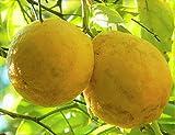 Rare Hardy Lemon Huge Baseball Size Lemons Fruit Trees 3''-6'' Live Plants Citrus