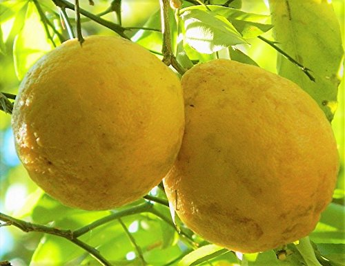Rare Hardy Lemon Huge Baseball Size Lemons Fruit Trees 3''-6'' Live Plants Citrus by Mini Garden (Image #1)