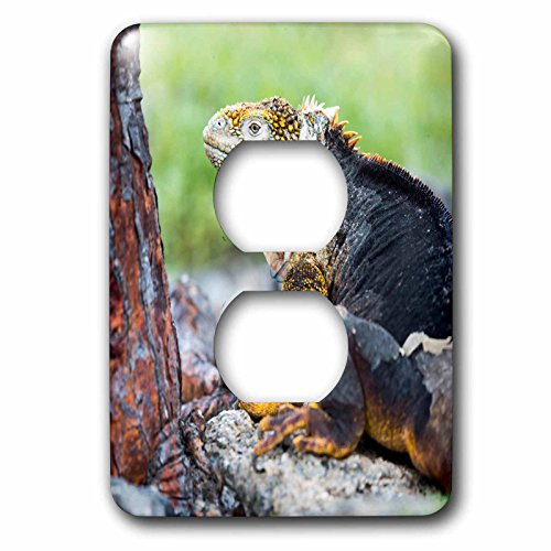 3dRose Danita Delimont - Reptiles - Ecuador, Galapagos Islands, Plaza Sur, Male land iguana. - Light Switch Covers - 2 plug outlet cover - Plaza America Outlets
