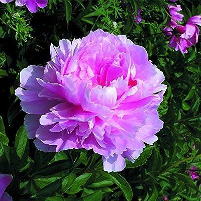 2 pcs Peony Fragrant Flower Bulb Perennial Summer Plant (01) : Garden & Outdoor