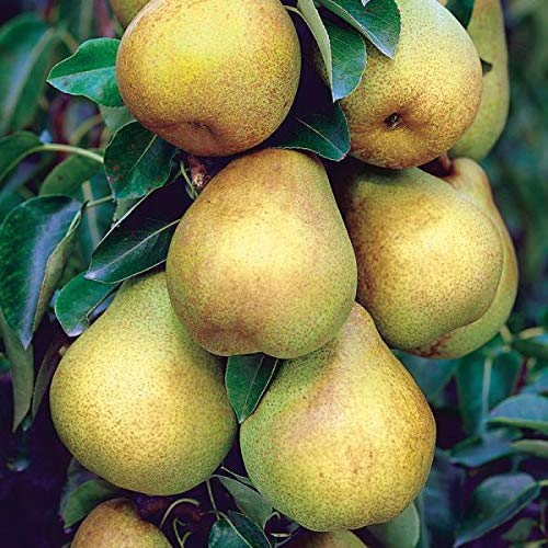 Starking Delicious Pear Semi-Dwarf- EZ Start Potted Tree - 2 Years Old - 1½ - 3' Tall When Shipped - Bottomless 4x4x10 Pot for a Quick and Strong - Dwarf Pear