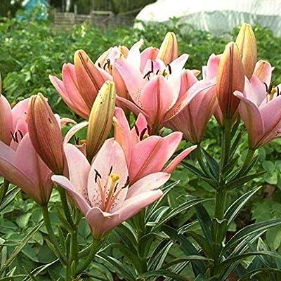 Amazon Com Lily Bonsai Plants Yellow White Red Pink Purple Lily
