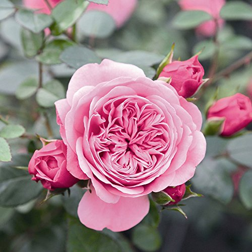 Starlet Beauty Pink Rose Bush Reblooming Upright Climbing Rose Grown Organic Potted - Fragrant Pink Flowers!