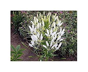 Blume Cleome hassleriana 50 Samen Spinnenblume Mischung