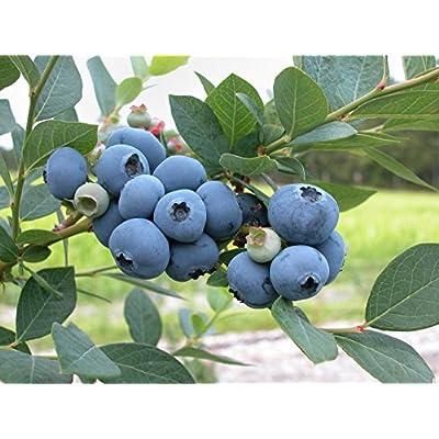 Premier Blueberry Bush - 3 Gallon - Bob Wells Nursery : Garden & Outdoor