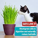 Organic 2lb Cat Wheatgrass Seeds by Back to the