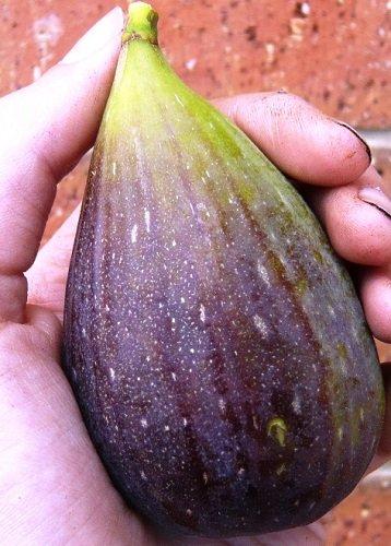 Magnolia Brunswick Edible Fig Plant - Ficus carica - Canning - 4