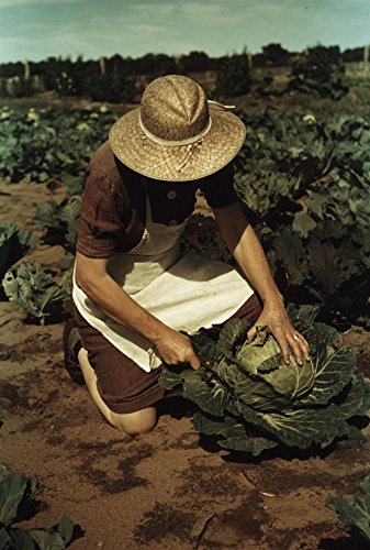 (Mrs Norris with homegrown cabbage one of the many vegetables which the homesteaders grow in abundance Pie Town New Mexico Poster Print (18 x 24))