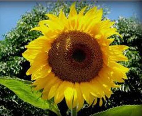 Sunflower, Mammoth Russian, 100 Seeds
