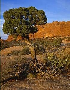 30 semillas de árboles bonsai de enebro flores en maceta bonsai oficina de purificar el aire absorben gases nocivos 8