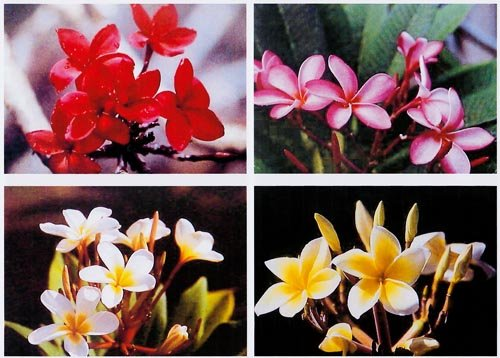 4 Hawaiian Plumeria Plant Cuttings Mixed Colors ~ Grow Hawaii by Kanoa Hawaii