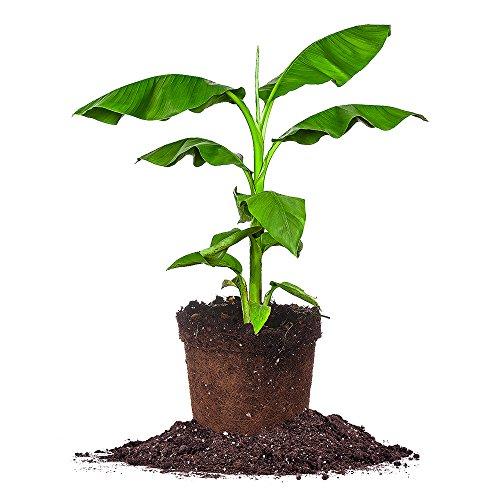 cold-hardy-basjoo-banana-tree-size-4-gallon-live-plant-includes-special-blend-fertilizer-planting-gu