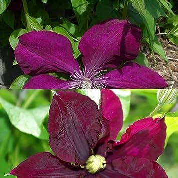 2 Clematis Kletterpflanzen: Clematis Rouge Cardinal & Clematis ...
