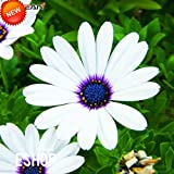 Big Sale!White Osteospermum Seeds Potted Flowering Plants Blue Daisy Flower Seeds for Home Garden,50 Seed/Bag,#80B6ZM
