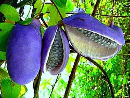 Akebia trifoliata, Chocolate Vine, 10 rare seeds, Japanese heirloom, sweet fruit (Vine Chocolate)