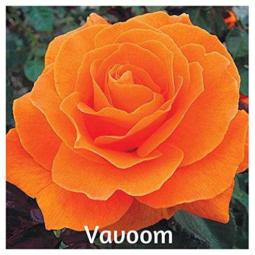 10 Vavoom Hybrid Floribunda Rose ()