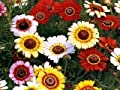 5000 Painted Daisy Seeds - Chrysanthemum Carinatum