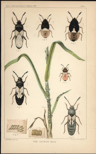 chinch-bug-pest-invasive-insects-c1887-antique-color-lithograph-print