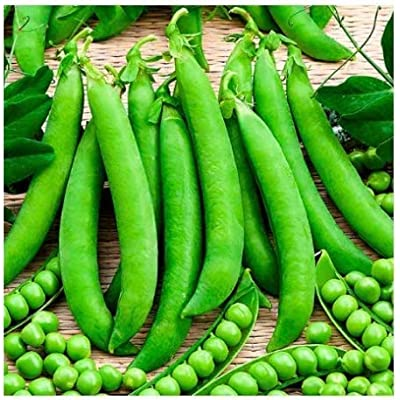 Mifutu Seed Sand Plants-50pcs peas Seeds Organic Vegetable Seeds Large Peas Seed high-yielding Vegetable Seeds : Garden & Outdoor