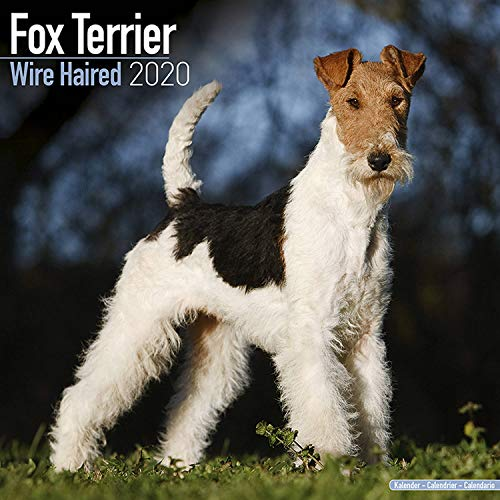 Wirehaired Fox Terrier Calendar - Dog Breed Calendars - 2019 - 2020 Wall Calendars - 16 Month Wall Calendar by Avonside (Multilingual -