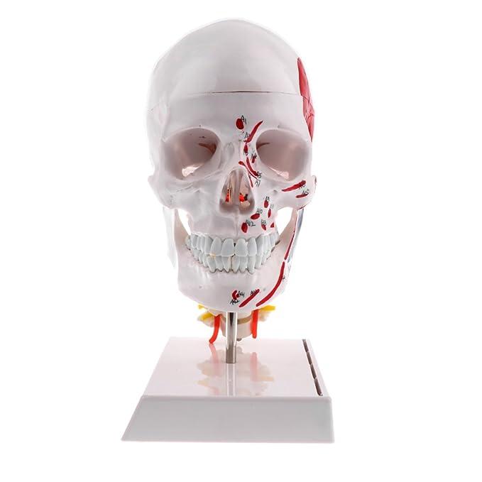 Homyl 1: 1 Menschlicher Kopf Schädel Mit Halswirbel Modell für ...