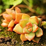 40pcs Sedum Adolphii Seeds Succulent Plants Desktop Potting