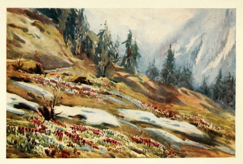 1907 Print Spring Crocus Mountain Switzerland Effie Jardine Art Floral Botanical - Original Color (Jardine Florals Art)