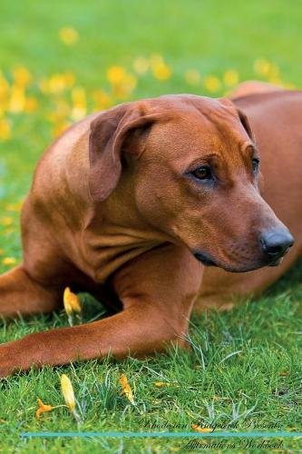 Download Rhodesian Ridgeback Affirmations Workbook Rhodesian Ridgeback Presents: Positive and Loving Affirmations Workbook. Includes: Mentoring Questions, Guidance, Supporting You. pdf epub