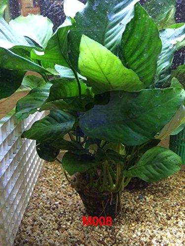 Anubias nana Mother Pot Plant M008 Live Aquatic Plant by Jayco (Image #5)