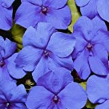 Outsidepride Impatiens Blue - 100 Seeds