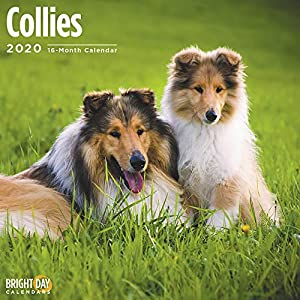 2020 Collies Wall Calendar by Bright Day, 16 Month 12 x 12 Inch, Cute Dogs Puppy Animals Adorable Lassie 8
