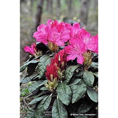 Rhododendron Hellikki Two Gallon Plant : Garden & Outdoor