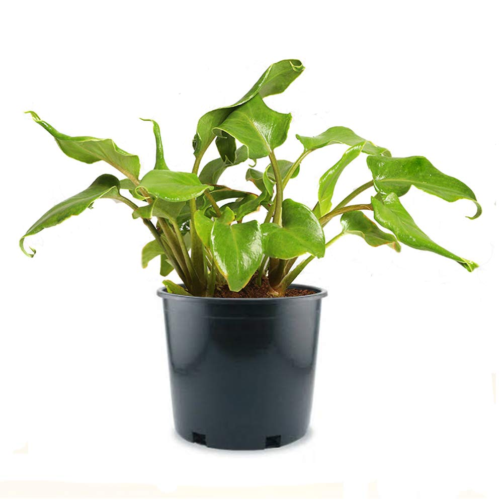 AMERICAN PLANT EXCHANGE Xanadu Philodendron Easy Care Live Plant, 6