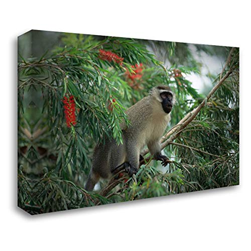 Black Faced Vervet Monkey - Black-Faced Vervet Monkey in Tree, East Africa 34x24 Gallery Wrapped Stretched Canvas Art by Wothe, Konrad