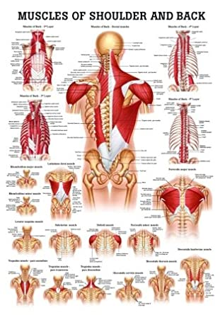 Amazon com muscles of the shoulder and back laminated anatomy chart