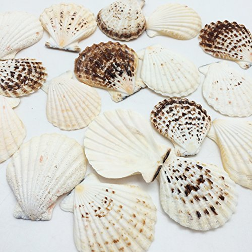 PEPPERLONELY 25 PC Thick Heavy Pecten Scallop Sea Shells , 2 Inch ~ 3 - Scallop Basket