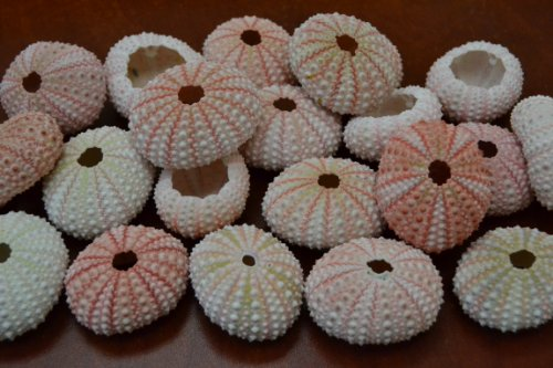 50 Pcs Bulk Pink Sea Urchins Sea Shell Beach Wedding Nautical Sea Urchin Shell