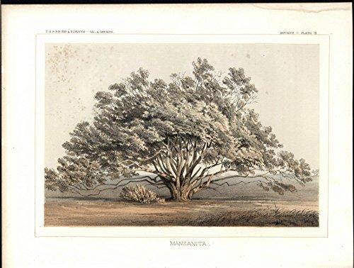 manzanita-evergreen-shrub-orange-red-bark-tree-1857-old-color-lithograph-print
