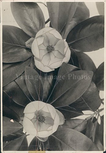- 1970s Flowers Blossoms Leaves Sweet Bay Magnolia Glauca Brownell Press Photo