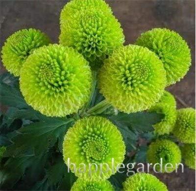 Bloom Green Co. Bonsai 100 pcs Flores mixtas de aster, plantas de ...